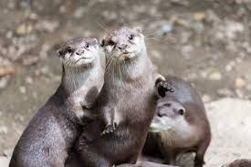 Georgia Aquarium otters